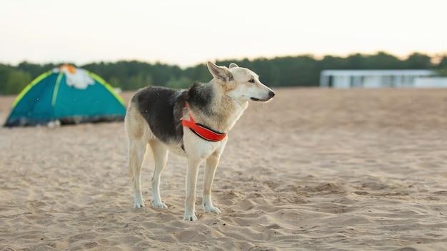 Veja uma barraca verde e um cachorro na praia arenosa perto da água