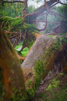 Velha árvore caída de musgo, folhagem, raízes e brilho misterioso com o canto dos pássaros.