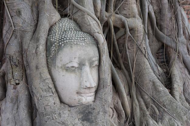 Velha árvore com cabeça de buda