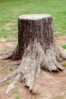 Velha árvore cortada com raízes grandes