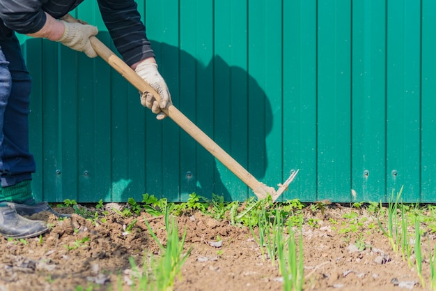 Velha remover ervas daninhas de suas camas de alho verde usando enxada.