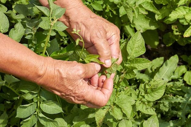 Velhas mãos colhendo hortelã fresca. conceito de ervas saudáveis. velha senhora idosa no jardim.