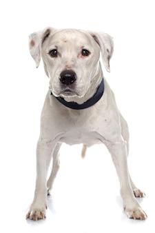 Velho american staffordshire terrier