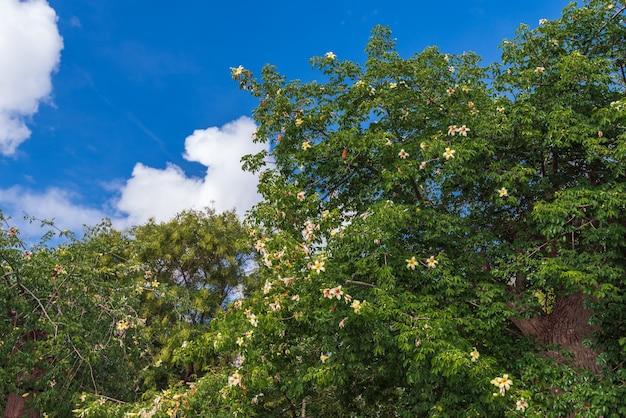 Velho baobá florescendo no parque