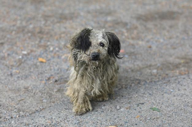 Velho cachorro vadio cinza sujo