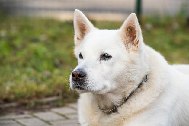 Velho cão pastor suíço branco posa do lado de fora.