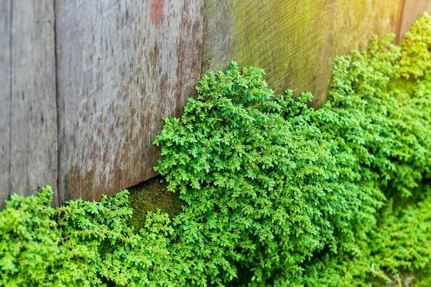 Velho muro de pedra cinza com musgo verde