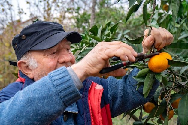 Velho segurando uma tesoura para colher a tangerina. árvore de mandarim.