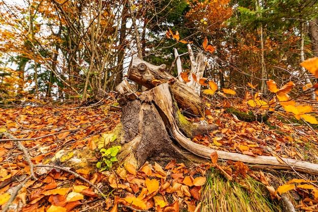 Velho toco de árvore salpicado de folhas caídas na floresta de outono