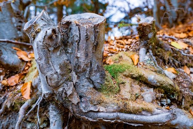 Velho toco podre salpicado de folhas caídas multicoloridas em uma floresta densa de outono e mofo verde