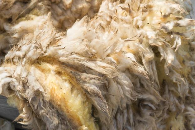 Velo de lã crua apenas cortado antes de ser fiado