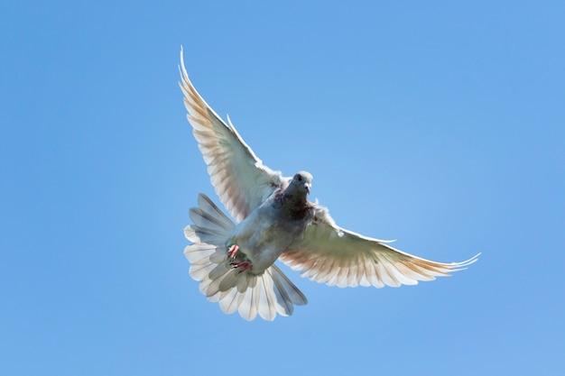 Velocidade de vôo voando pássaro pombo contra o céu azul claro
