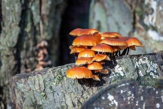 Velvet shank fungi (flammulina velutipes) crescendo em um velho toco de árvore