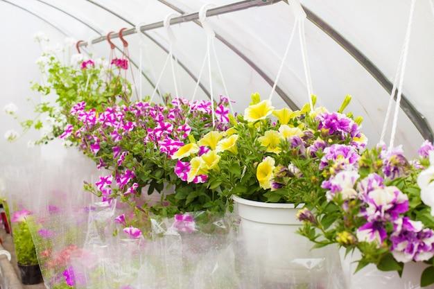 Venda de petúnias multi-coloridas que são cultivadas na estufa.