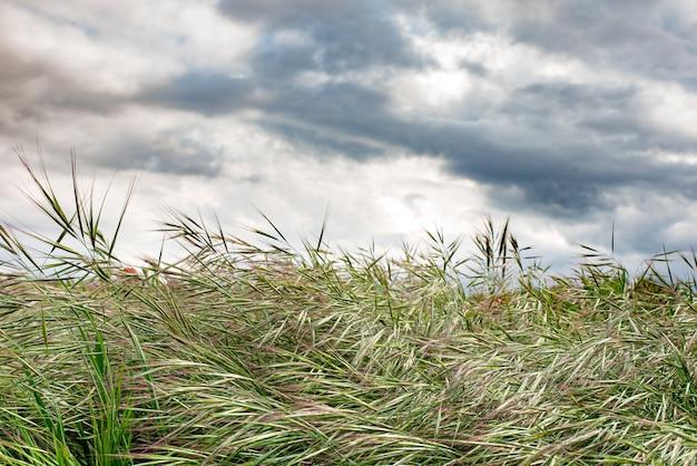 Vento no campo de trigo com céu nublado