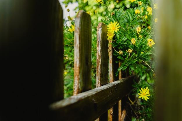 Ver através das cercas de madeira envelhecidas de um jardim de arbustos de margarida amarela