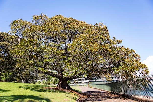 Ver em moreton bay fig em uma passarela em sydney, austrália