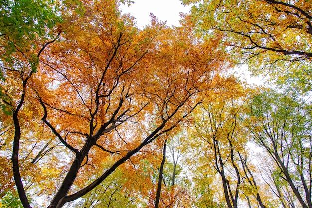 Ver no topo das árvores em uma floresta de outono.