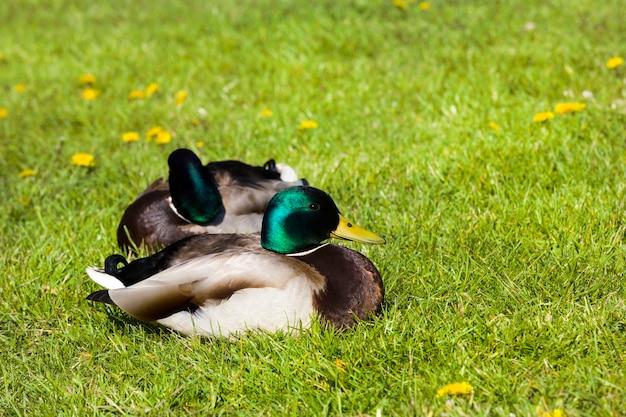 Veranistas na grama lindos pato-patos de cores brilhantes em um clima quente e ensolarado