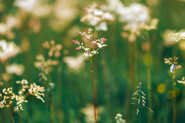 Verão branco flores silvestres cow salsa durante o nascer do sol