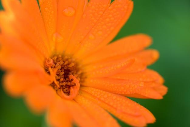 Verão brilhante com crescente calêndula de flores