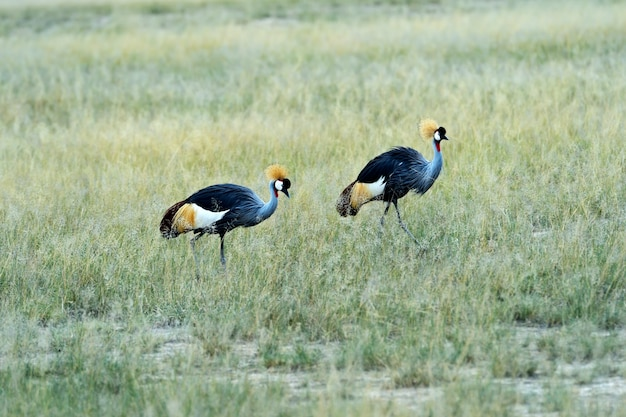 Verão de savana africana de guindaste coroado em grama alta
