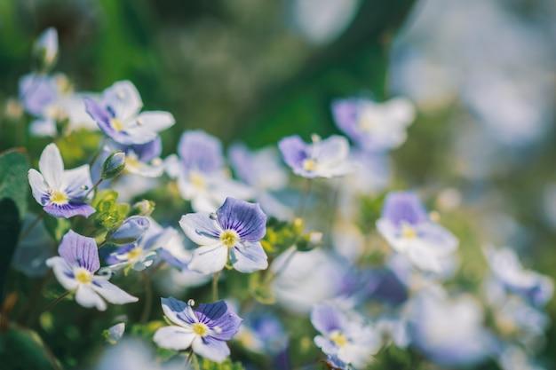 Verão linda flor veronica filiformis