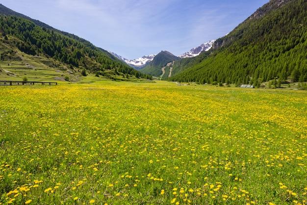 Verão nos alpes. prado alpino de florescência e floresta verde luxúria