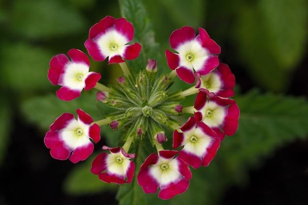 Verbena em flor no jardim