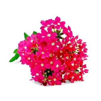 Verbena rosa com folha verde isolada