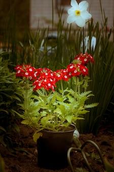 Verbena vermelha floresce em um vaso de plástico no jardim