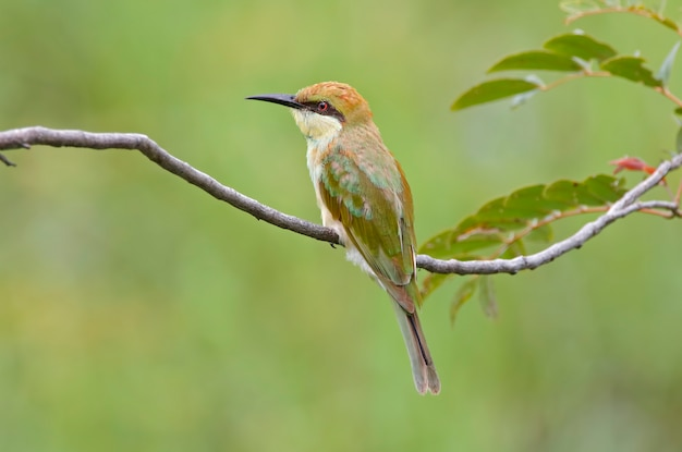 Verde bee-eater merops orientalis belas aves da tailândia