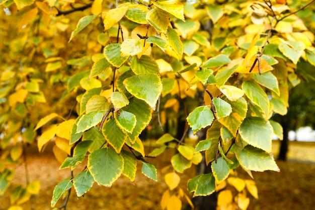 Verde com folhas amarelas nos ramos de bétula no outono.