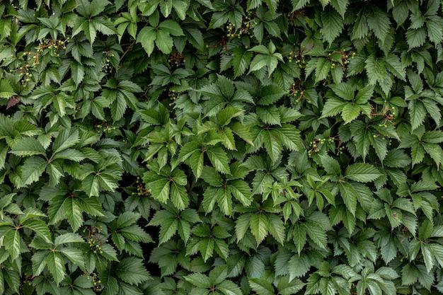 Verde de fundo de arbusto de folhas. plano de fundo para protetor de tela