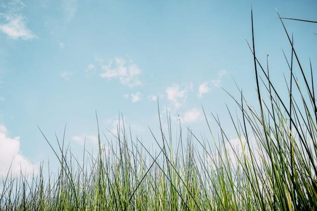 Verde do fundo da natureza do vintage da planta da grama e do fundo do céu.