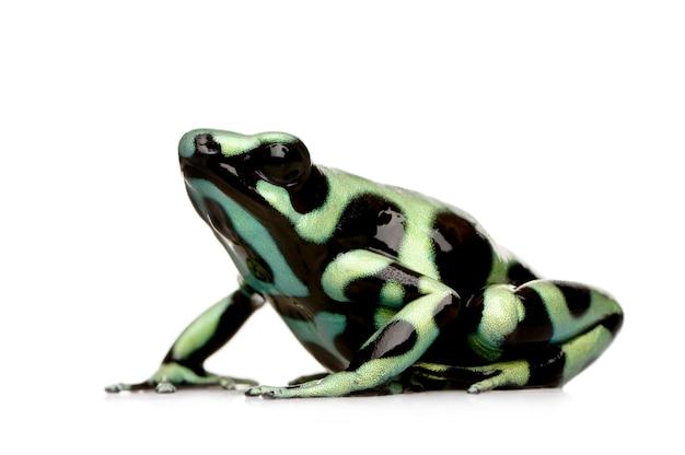 Verde e preto veneno dardo sapo - auratus dendrobates em um branco isolado
