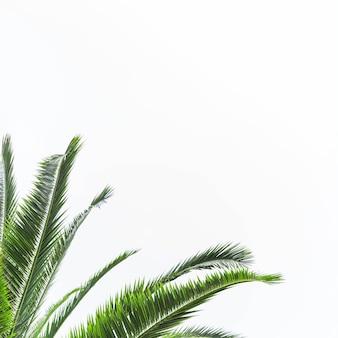 Verde, folhas, de, árvore palma, isolado, branco, fundo
