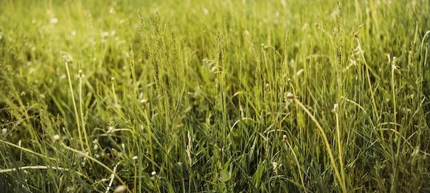 Verde fresco da grama da mola do close up no campo. cor verde quente da foto.