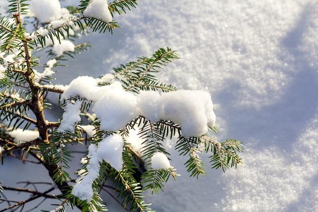 Verde jovem iluminado por ramos de abeto do sol brilhante cobertos com neve limpa fresca e profunda sobre fundo de espaço ao ar livre azul branco turva cópia