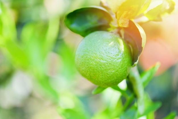 Verde limão em uma árvore no fundo desfocado