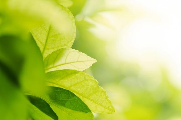 Verde natural ou planta da folha do close up no jardim.