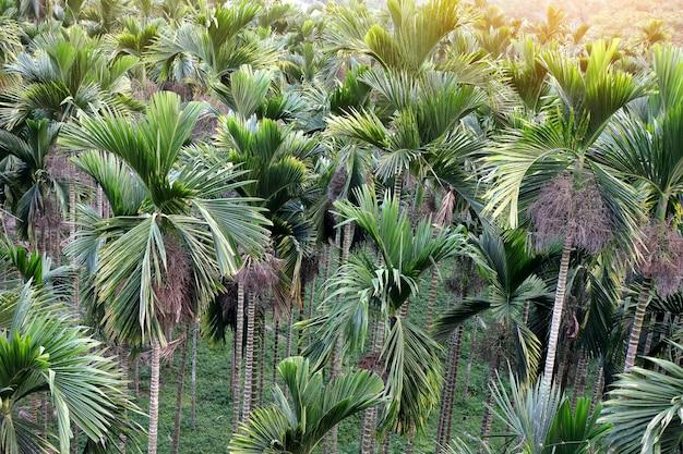 Verde palmeira de betel ou palmeiras areca crescendo em taiwan