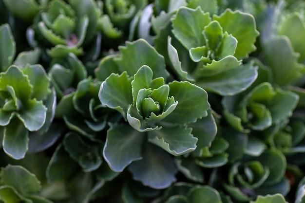 Verde sedum closeup lindas folhas com bordas irregulares de arbustos sedum em fundo verde sedum tel ...