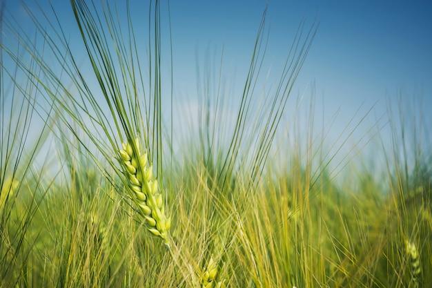 Verde, toldo orelha de cevada no campo contra o céu azul