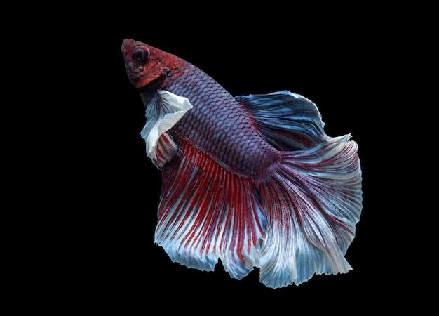 Vermelho e azul meia lua peixe-lutador-siamês (plakat tailandês) isolado no fundo preto