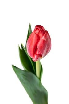 Vermelho. perto da bela tulipa fresca isolada no fundo branco.