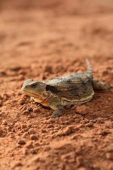 Vertical de lagarto com chifres do deserto