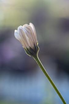 Vertical de um botão de flor de camomila deslumbrante