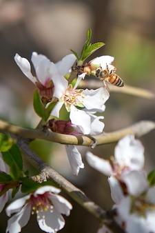 Vertical de uma abelha em uma flor de damasco em um jardim sob a luz do sol