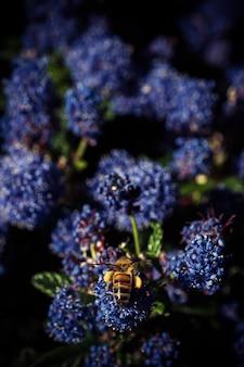 Vertical de uma abelha empoleirada em uma flor de ceanothus
